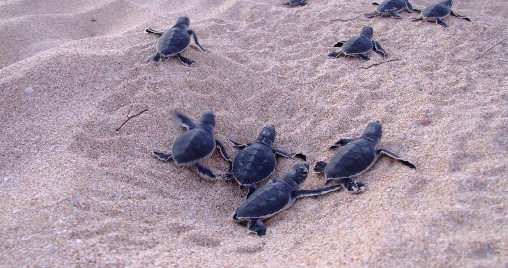 Turtle hatching at Ningaloo, Western Australia