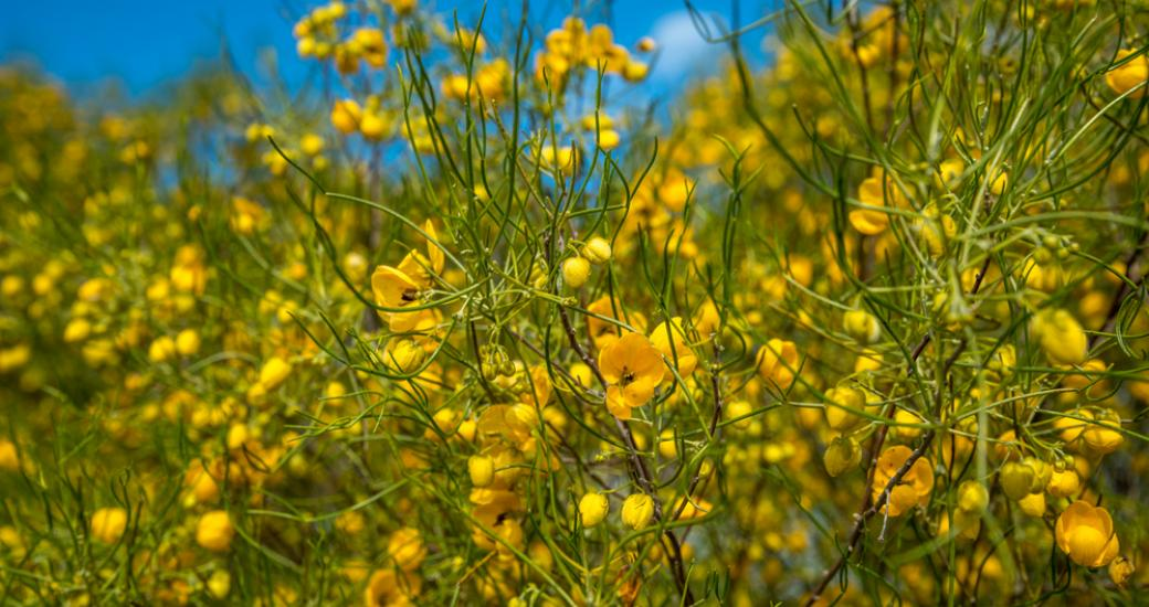 Wildflower Western Australia Gold Yellow Lesueur National park