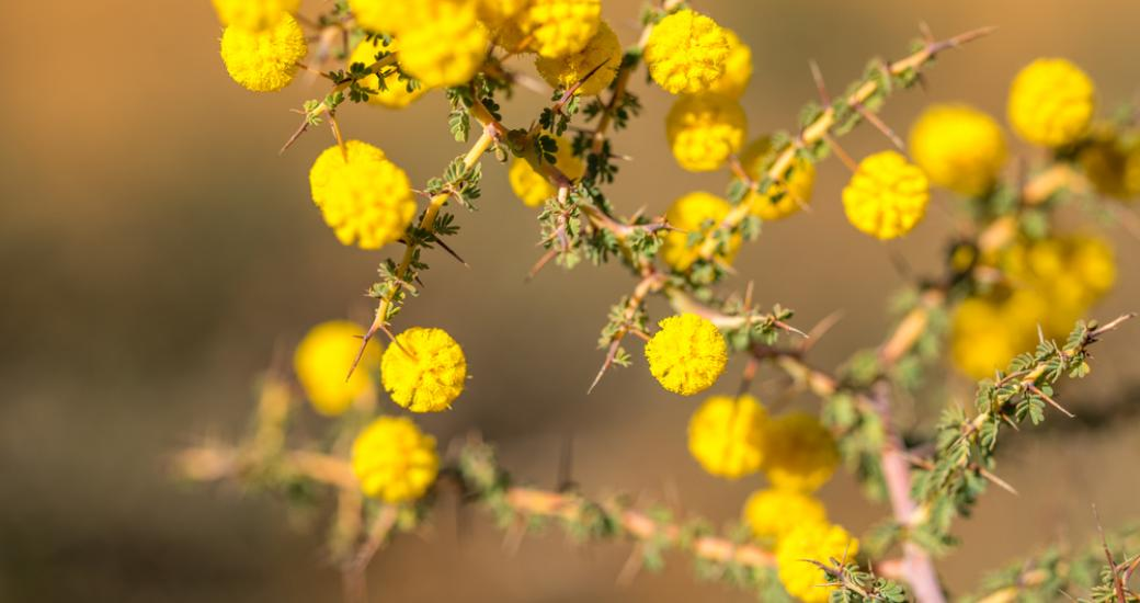 Wildflower Western Australia Gold Pom Pom Yellow Wattle