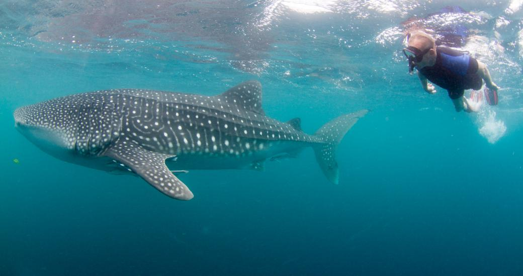 A swimmer alongside a whale shark on tour on the Ningaloo Reef, Western Australia. Image by Migration Media