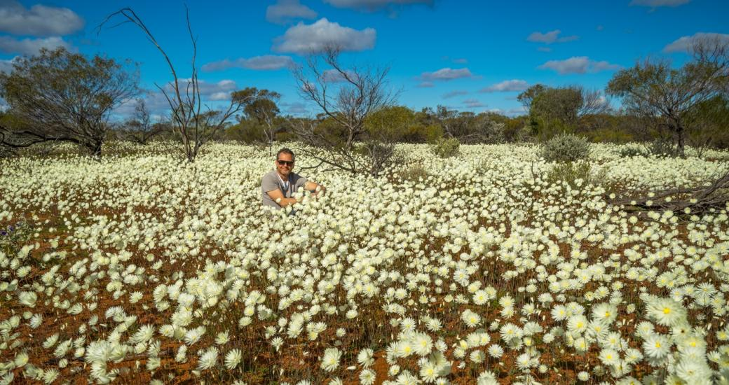 Everlasting white carpets Wildflower Western Australia Coalseam