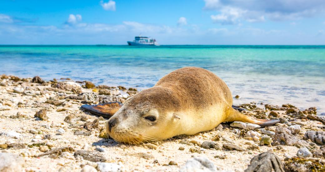 An Australian sea lion lounges on a beach at the Abrolhos Islands off of Geraldton, Western Australia
