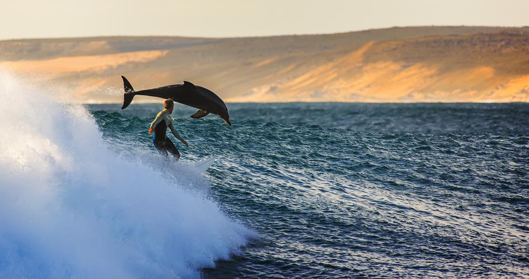 A dolphin playing in the surf at Kalbarri, Western Australia
