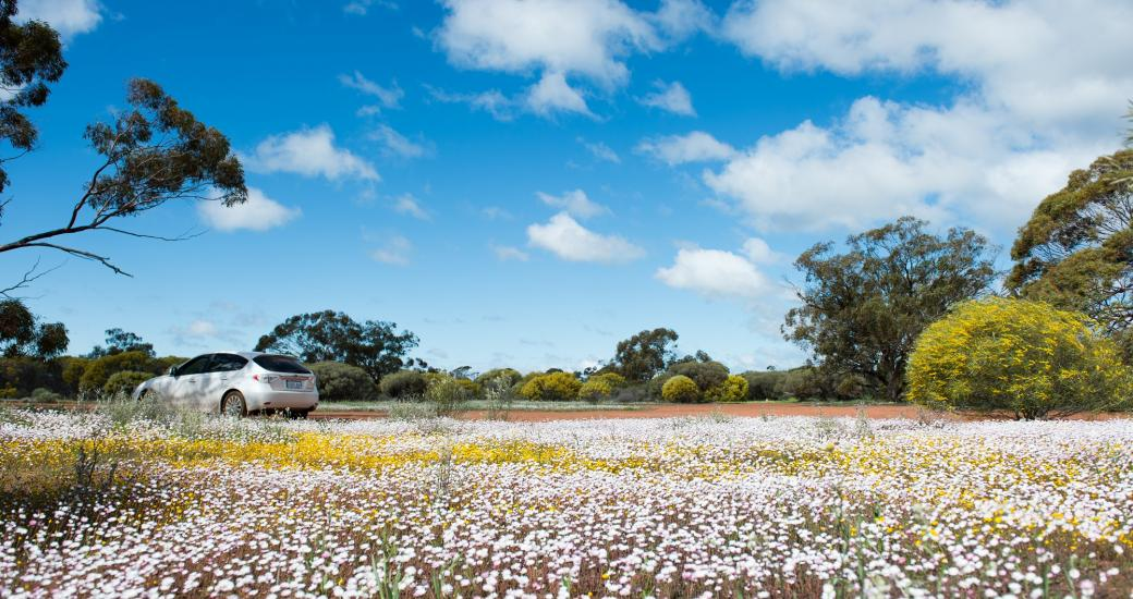 Western Australia Wildflower Everlastings Self Drive Holiday
