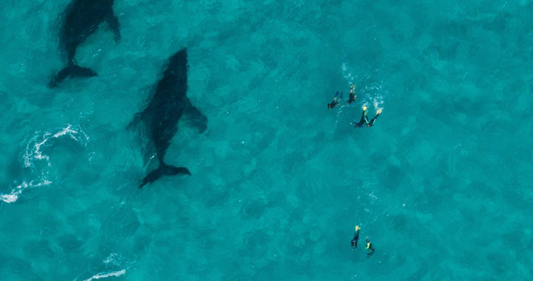 An aerial view of two humpback whales swimming past a group of swimmers on tour with Coral Bay Ecotours on the Ningaloo Reef, Western Australia