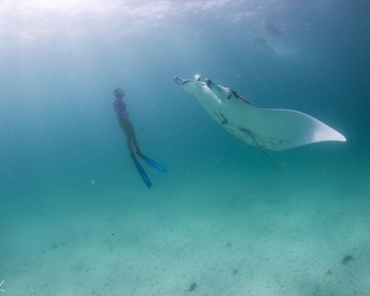 A manta ray swims through the Ningaloo Reef, seen on tour with Ningaloo Marine Interactions, Western Australia