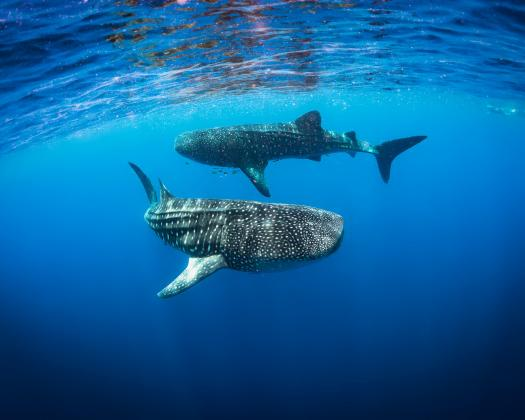 Two whale sharks swimming through the waters of Ningaloo Reef, seen on tour with Ningaloo Discovery, Western Australia
