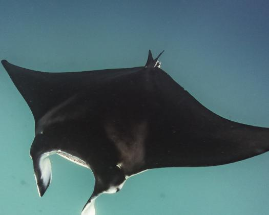 A manta ray swims through the crystal clear waters of Ningaloo Reef, Western Australia
