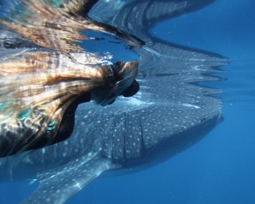 Swimming with a whale shark on Ningaloo Reef, on tour with Ningaloo Discovery, Western Australia
