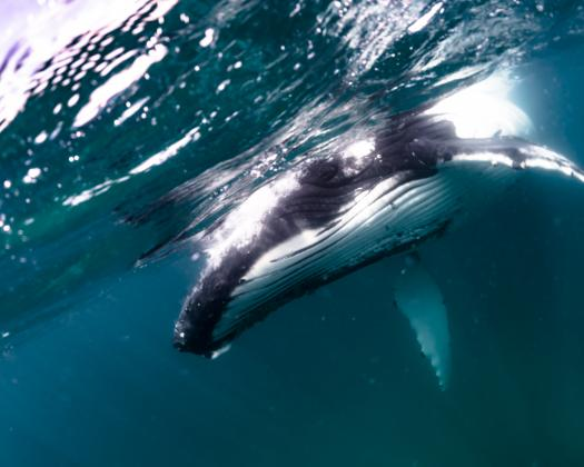 A humpback whale seen on tour with Ningaloo Discovery on the Ningaloo Reef, Western Australia