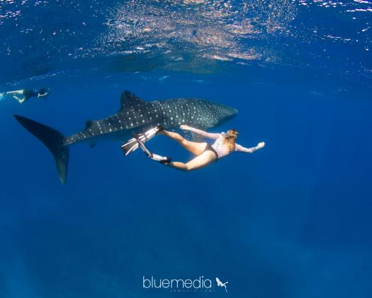 Swimming with a whale shark on Ningaloo Reef on tour with Ningaloo Blue Western Australia
