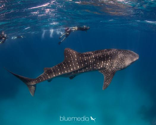 Swimming with a whale shark Ningaloo Blue Western Australia