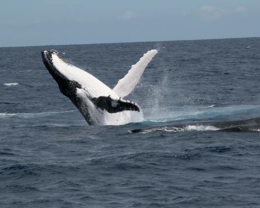 Whale watching with Ningaloo Blue Western Australia