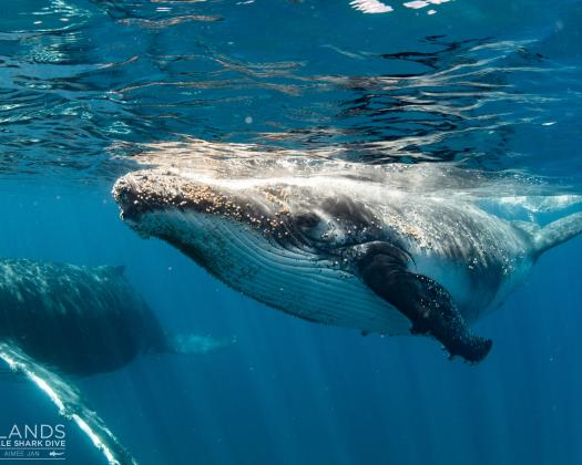 Swimming with humpback whales, on tour with Three Islands Whale Shark Swim, Ningaloo Reef, Western Australia