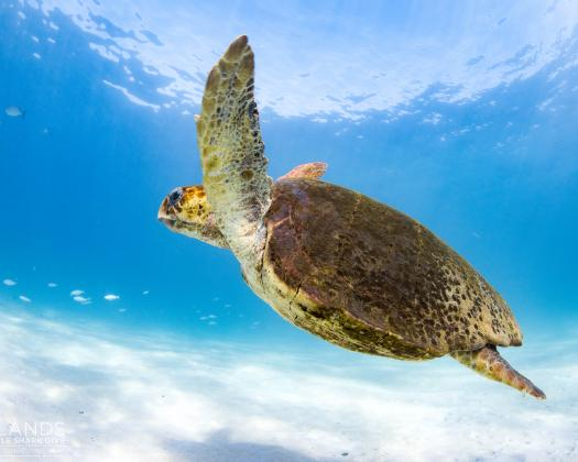 A turtle swims through the crystal clear waters of Ningaloo Reef, seen on tour with Three Islands Whale Shark Dive, Western Australia