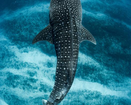A whale shark swims through the shallows of the Ningaloo Reef, seen on tour with Three Islands Whale Shark Dive, Western Australia