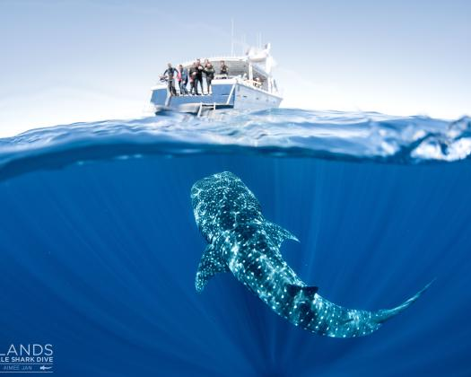A curious whale shark checks out the vessel of Three Islands Whale Shark Dive on the Ningaloo Reef, Western Australia