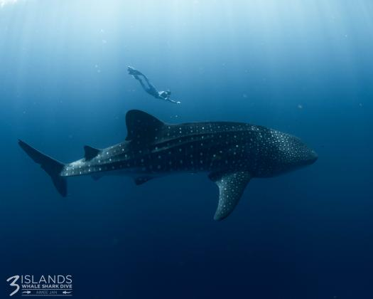 A diver swims near a whale shark on the Ningaloo Reef, on tour with Three Islands Whale Shark Swim, Western Australia