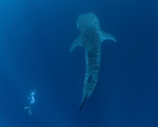 A swimmer and a whale shark, on tour with Three Islands Whale Shark Dive, Western Australia