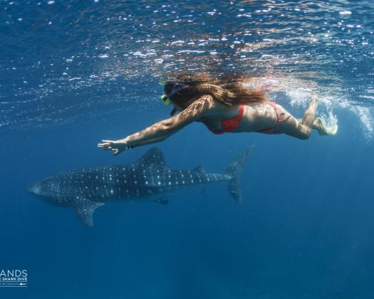 A snorkeller swims near a whale shark on the Ningaloo Reef, on tour with Three Islands Whale Shark Dive, Western Australia
