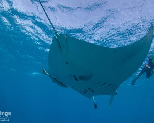Swimming with a manta ray on the Ningaloo Reef, on tour with Kings Ningaloo Reef Tours, Western Australia