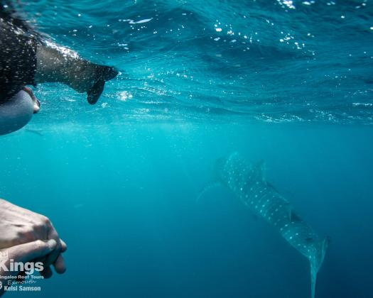 Swimming with a whale shark on the Ningaloo Reef, on tour with Kings Ningaloo Reef Tours, Western Australia