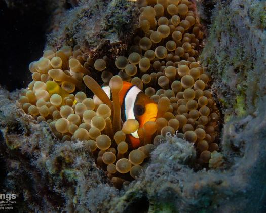 A clownfish, seen on tour with Kings Ningaloo Reef Tours, Western Australia