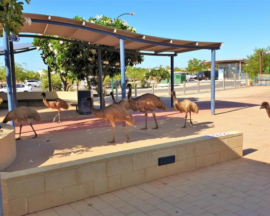 Emus in the Ross Street Mall, Exmouth, Ningaloo, Western Australia