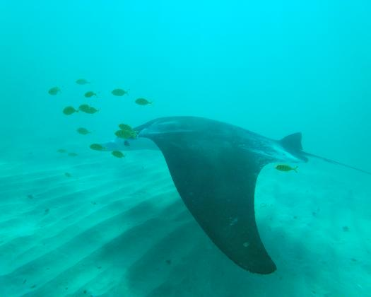 Swim with the magical manta rays in Coral Bay, Western Australia. Image taken on tour with Coral Coast Tours
