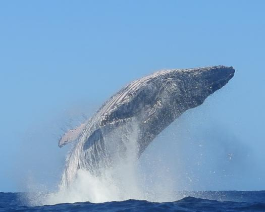 Whale watching on Aqua Rush with Coral Coast Tours, Coral Bay, Western Australia