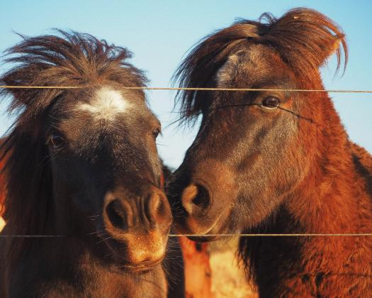 Sooty and Sweep, resident miniature ponies at Giralia Station, Western Australia