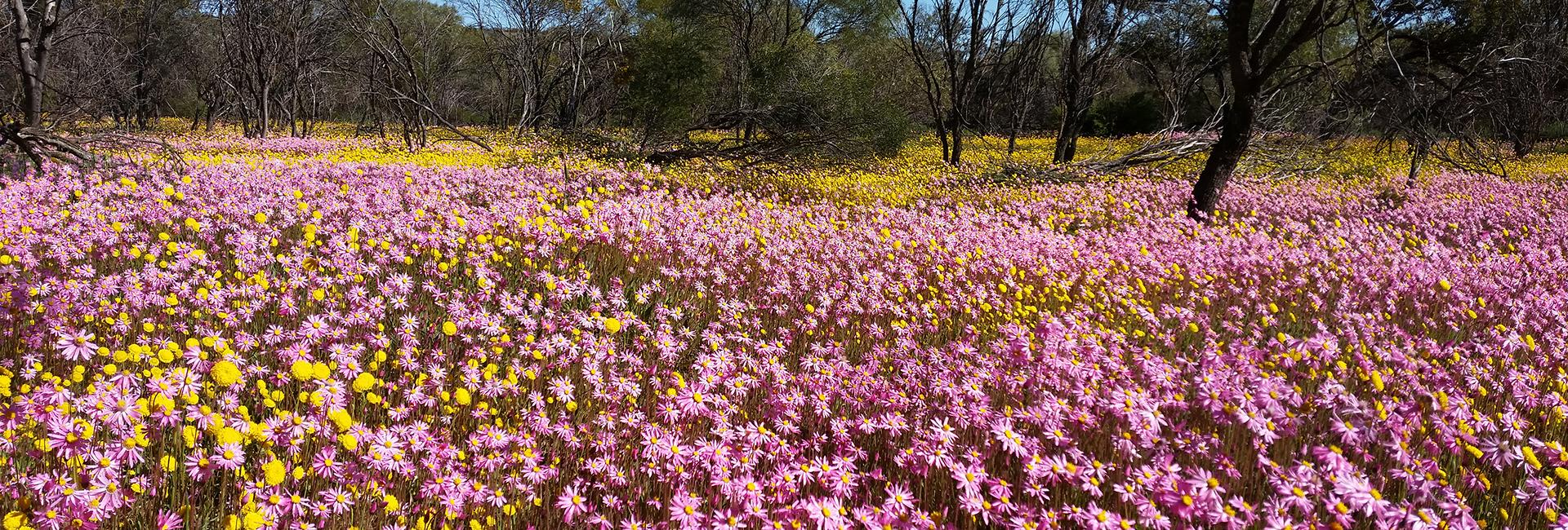A carpet of everlasting wildflowers in Coalseam Conservation Park, Western Australia