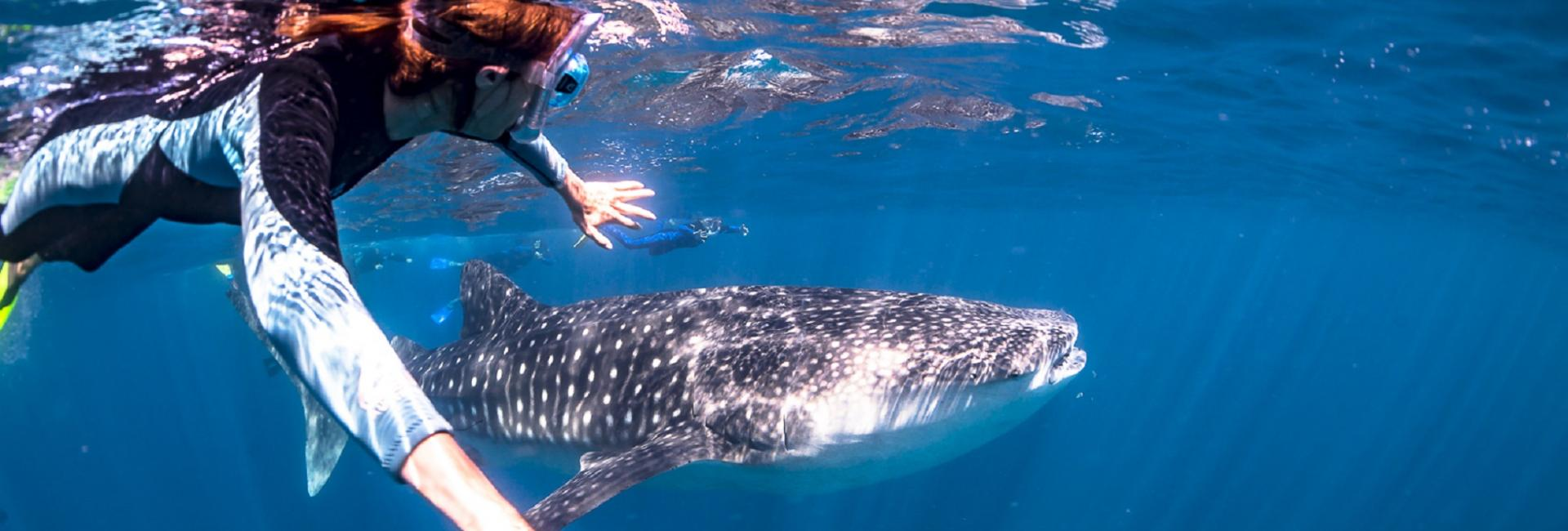 Swimming with a whale shark on the Ningaloo Reef Western Australia