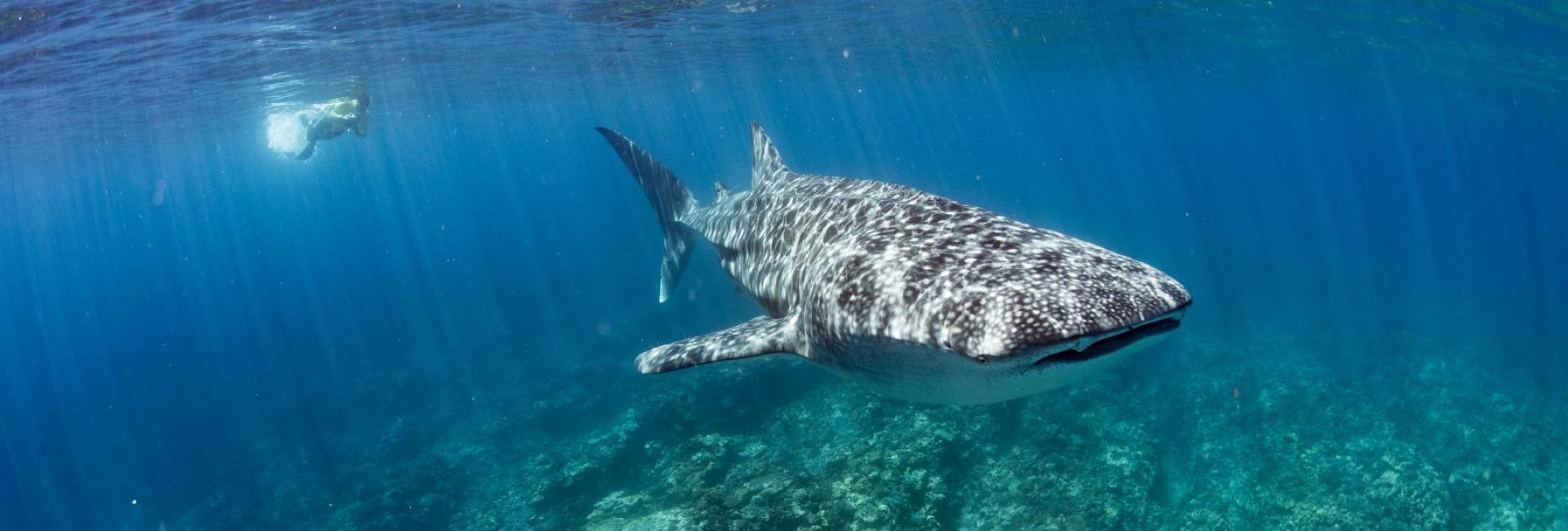 Swim with whale sharks on the World Heritage Listed Ningaloo Reef, Australia's Coral Coast, Western Australia
