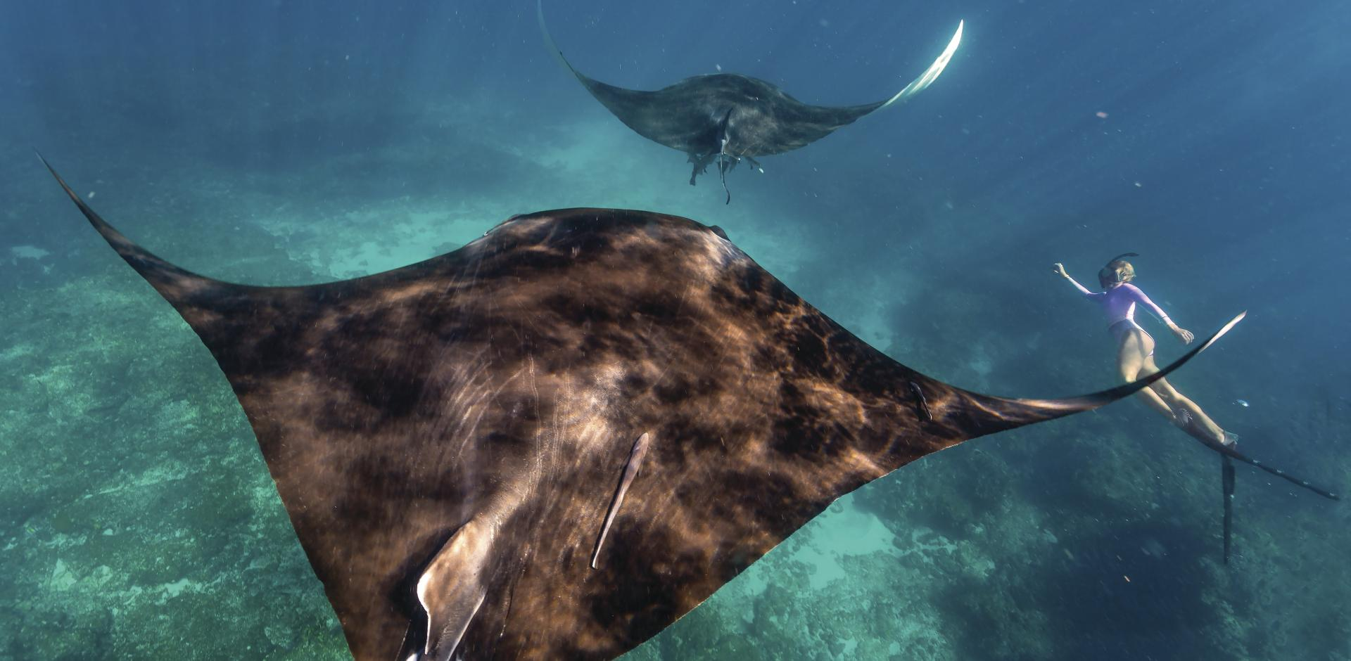Manta Ray Coral Bay Swim Tour Ningaloo Reef Western Australia