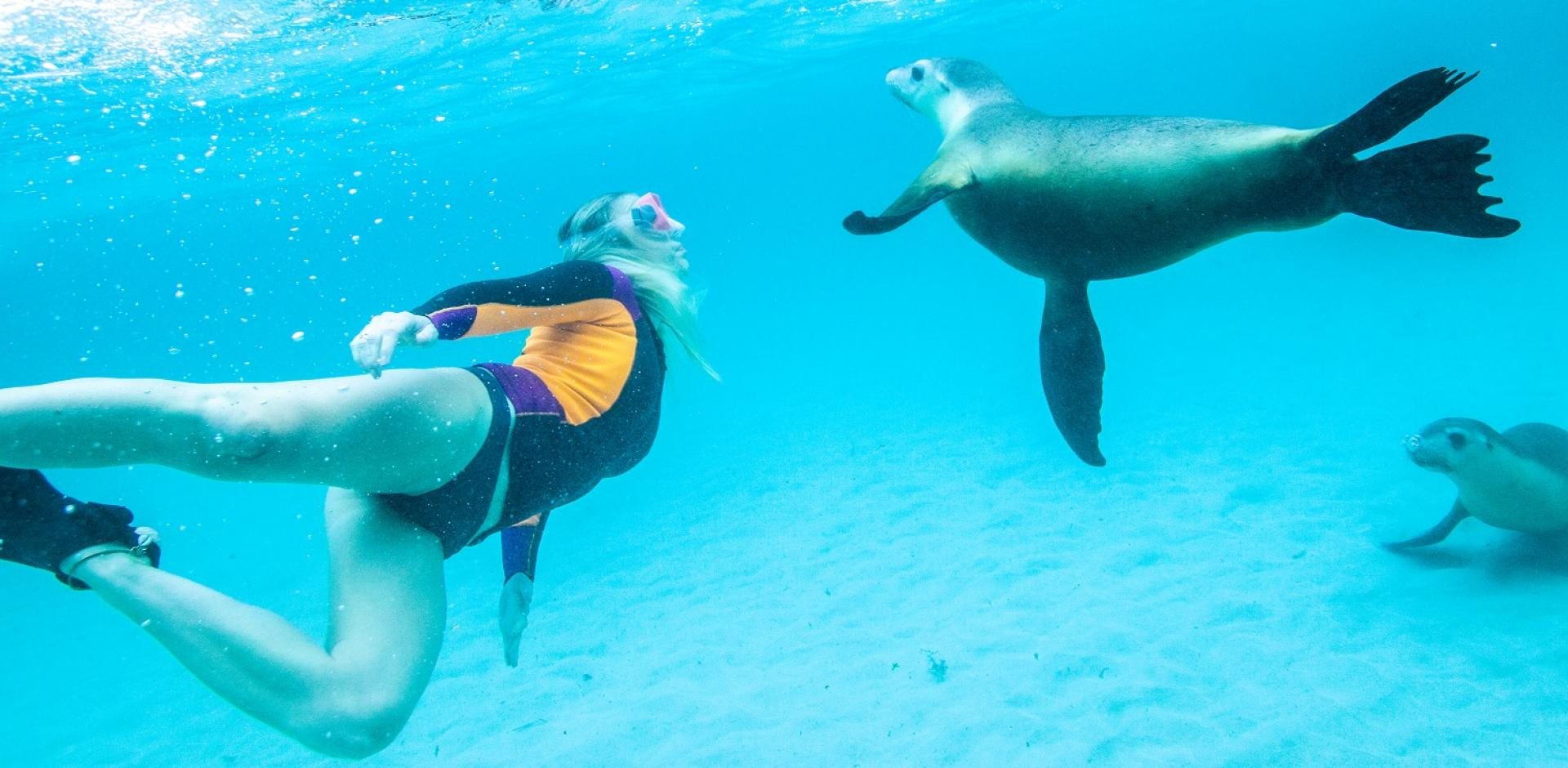 Sea Lion swim Jurien Bay Western Australia
