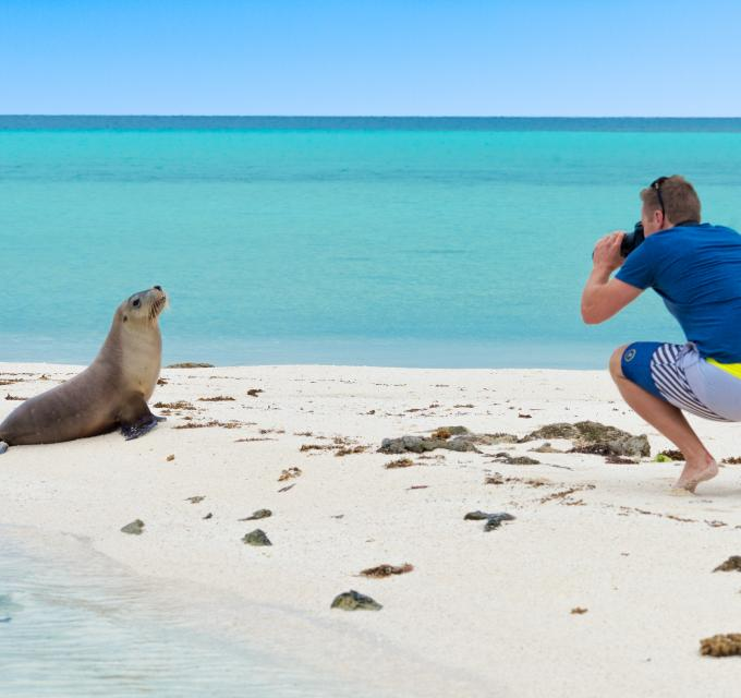 A person takes a photo of an endangered Australian sea lion at the Abrolhos Islands, off of Geraldton, Western Australia