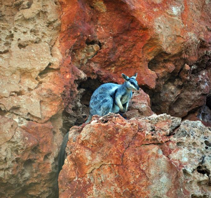 A rare black-footed rock wallaby peers out from the gorge wall in Yardie Creek, Cape Range National Park, near Exmouth, Western Australia