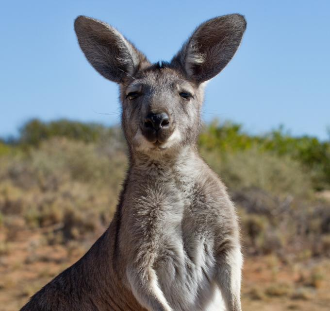 A kangaroo in Cape Range National Park, near Exmouth, Western Australia