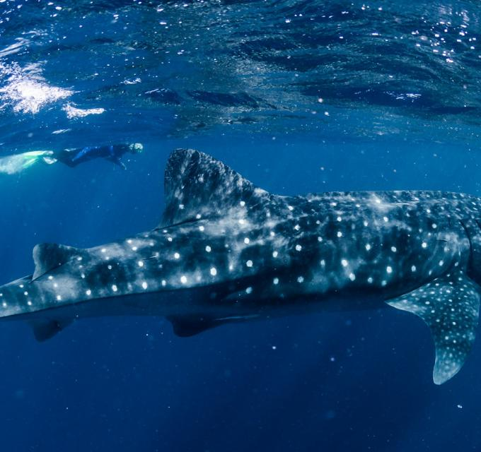 A whale shark glides through the waters of Ningaloo Reef in Western Australia. Image by Lauren Bath
