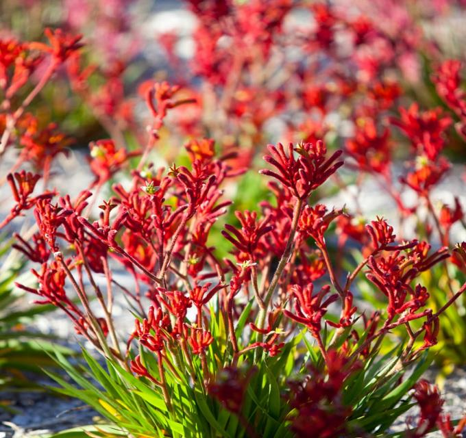 Red Kangaroo Paw wildflowers, seen in Australia's Coral Coast