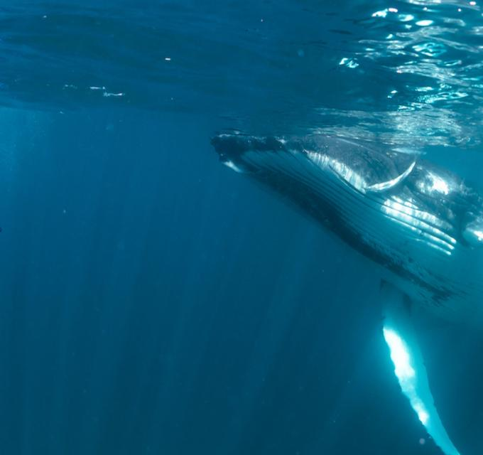 A humpback whale swims near a guest on tour with Ningaloo Discovery on the Ningaloo Reef, Western Australia