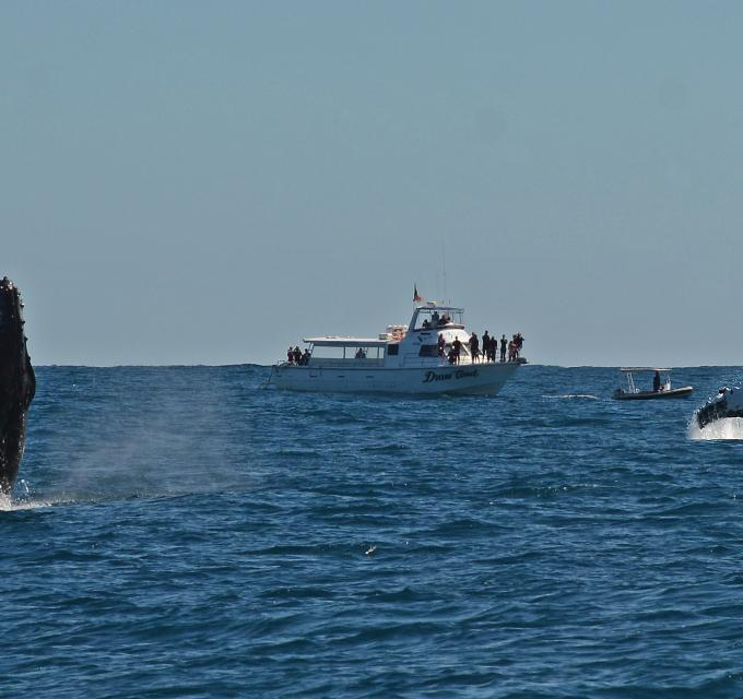 Two humpback whales breach on the Ningaloo Reef, Western Australia
