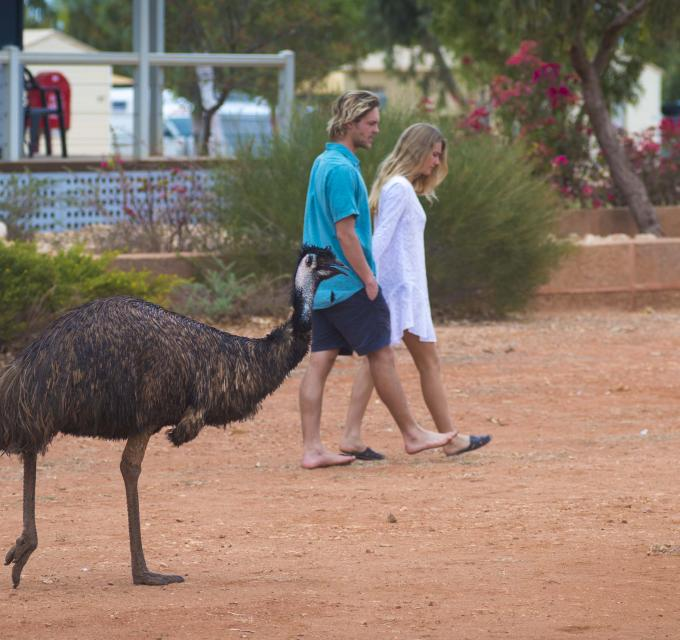 Emu Australian Animal Bird Ningaloo Exmouth Town