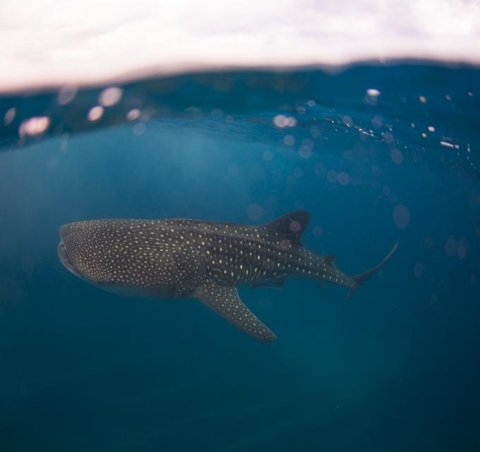 Ningaloo Blue Media Whale Shark