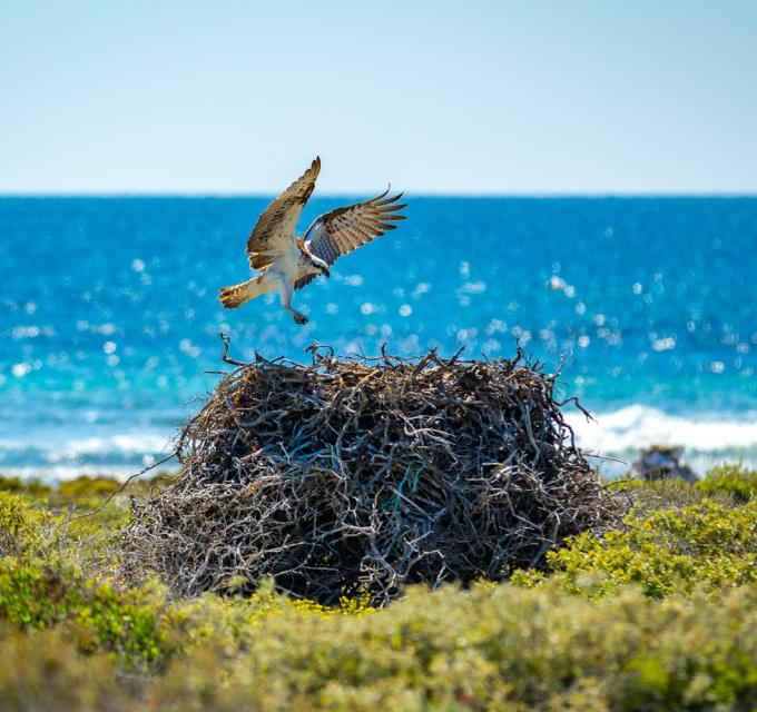 White Breasted Sea Eagle Nest Abrolhos Islands Dan Avila Western Australia