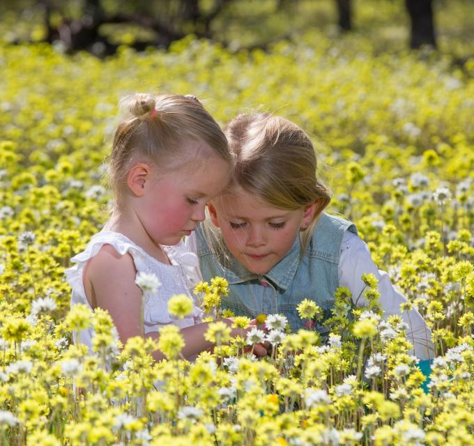 2 girl kids sitting in Western Australia 2019 Wildflower season yellow everlasting carpets