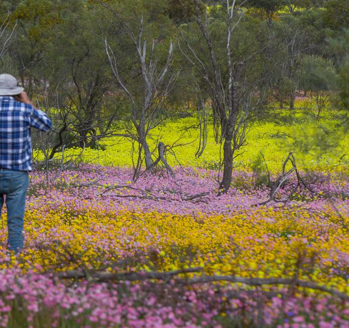Coalseam Park Pink Yellow Everlasting Wildflowers Western Australia