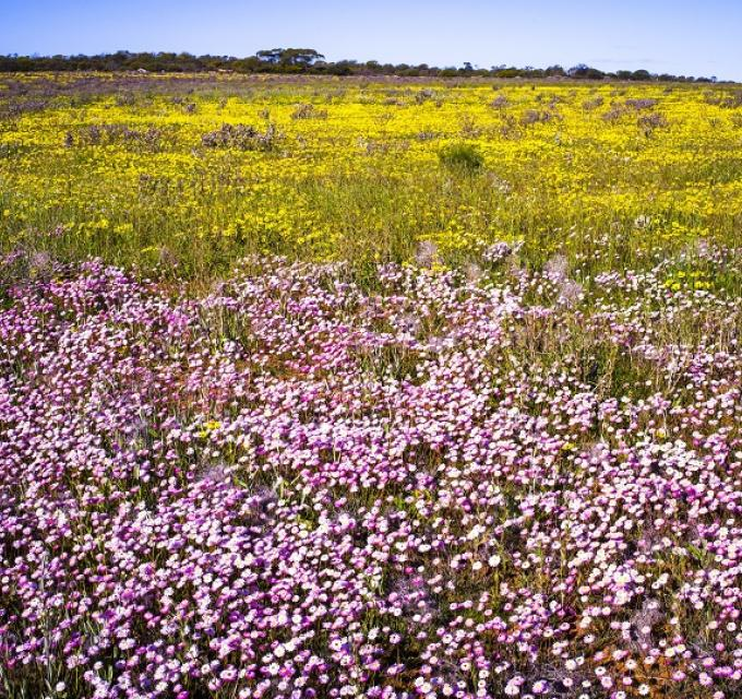 A carpet of pink everlasting flowers in Coalseam Conservation Park, Western Australia