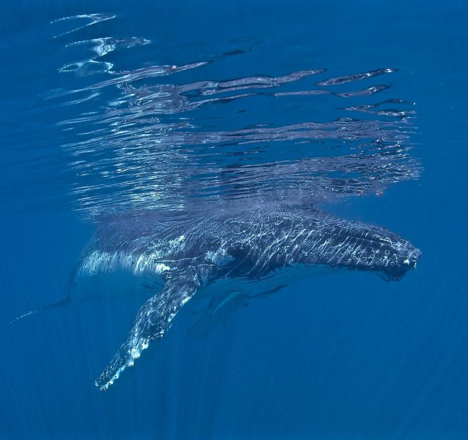 Swimming with humpback whales, Ningaloo Reef, Western Australia